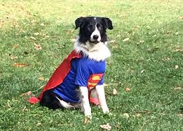 Husky Dog Halloween Costumes Halloween Costumes Dogs