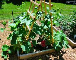 squash plant trellis u2013 outdoor decorations