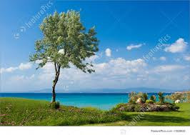 plants olive tree at the greek seaside stock image i1828655 at