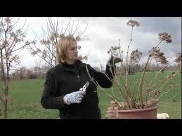 potare le ortensie in vaso la potatura delle ortensie l hydrangea macrophylla