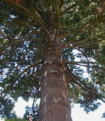 5 heritage trees of portland inexpensive tree care