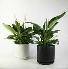 peace lily in a black or white pot air purifier plantandpot nz
