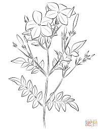 spanish jasmine jasminum grandiflorum coloring page free