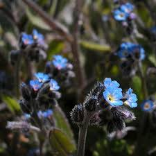 flowered forget me not