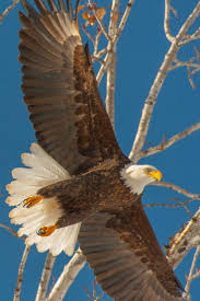 60 best american bald eagle art photographs information and just