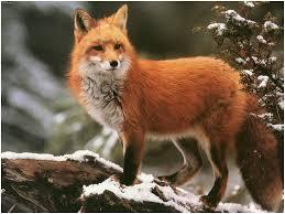 foxes wildlife animal services city of toronto