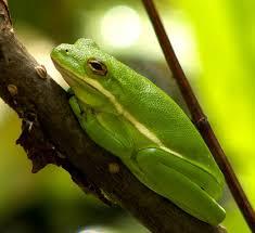 state amphibian green tree frog