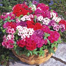 Fragrant Plants For Pots - eye catching refreshing with fragrant flowers phlox are ideal