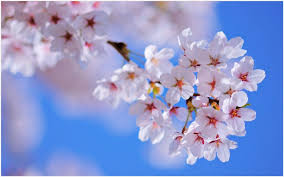 cherry flowers wallpapers cherry flowers hd wallpaper cherry blossom lake hd wallpaper