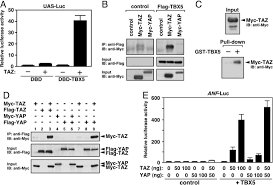 Yap Flag A Ww Domain Protein Taz Is A Critical Coactivator For Tbx5 A