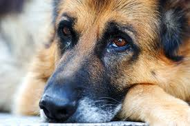 allergies in dogs symptoms causes diagnosis treatment