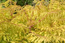 30 best native plant reference 14 best shrubs for fall color