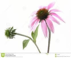 echinacea flower echinacea flower stock images image 1033804