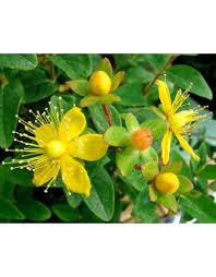 Flower Seeds Online - st john u0027s wort buy flower seeds online in india chhajedgarden com