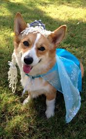 matching dog and owner halloween costumes 22 times corgis proved they are the champions of halloween
