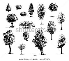 poplar trees stock images royalty free images u0026 vectors