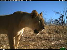 big cat selfies for givingtuesday u2013 national geographic society