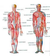 Anatomy And Physiology Definitions Human Anatomy Definition Periodic Tables