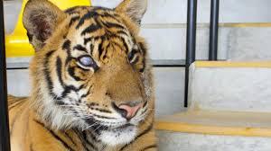 earth blind tiger shows true grit