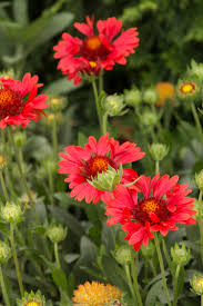sunset celebration blanket flower monrovia sunset celebration