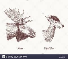 moose or eurasian elk tufted deer vector hand drawn illustration