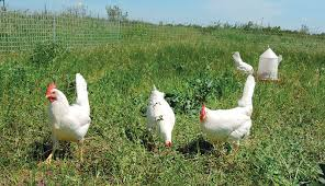 Keeping Free Range Chickens In Your Backyard Free Range Vs Pastured Poultry What U0027s The Difference Hobby Farms