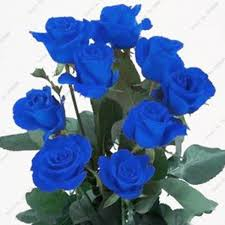 blue roses for sale hot sale blue seeds and beautiful striped shrubs