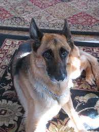 belgian sheepdog massachusetts saves ivg hospitals