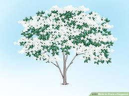 how to prune a dogwood 9 steps with pictures wikihow