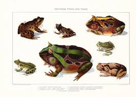 1903 animal print american frogs and toads vintage antique