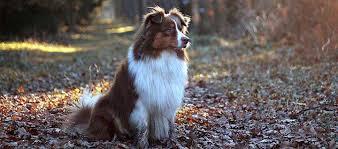 australian shepherd name origin australian shepherd dog breed
