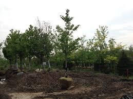 ginkgo trees for sale buy ginkgo biloba trees trees