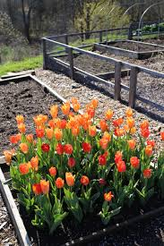 When To Plant Spring Vegetable Garden by Planting Tulip Bulbs In Your Vegetable Garden Longfield Gardens