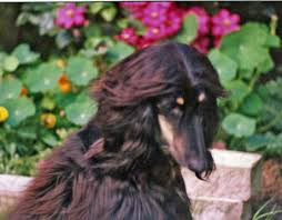 afghan hound lifespan afghan hound breed information and pictures on puppyfinder com