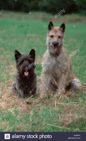 belgian sheepdog lab mix belgian shepherd dog and mixed breed dog laekenois stock photo
