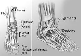 Foot Ligament Anatomy Foot And Ankle Jewett Orthopaedic Clinic