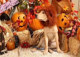 Lab Halloween Costume Ideas Best 25 Dog Lion Costume Ideas Only On Pinterest Dog Lion Mane