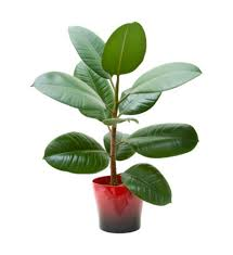 repotting a rubber plant learn when and how to repot rubber tree plants