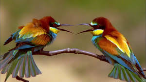 the life of a bee eater destination wild video nat geo wild