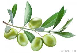 what is an olive tree with pictures