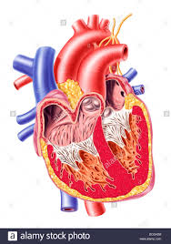 Neck Cross Sectional Anatomy Anatomy Of Human Heart Cross Section With Detailed Internal Stock