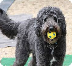 bearded collie adoption shiloh adopted dog medfield ma bearded collie poodle