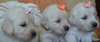 Comfort Retriever Puppies For Sale Golden Retriever Puppies Vizsla Puppies Golden Meadows Kennel