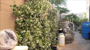 star jasmine flowering best smelling plant ever youtube