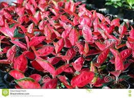 aglaonema aglaonema plant chinese evergreen stock photo image 81821777