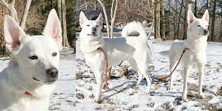 american eskimo dog new zealand where you can rescue your very own