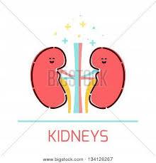 Cartoon Human Anatomy Cute Healthy Kidneys Icon Made In Cartoon Style Kidneys Cartoon