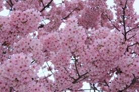 cherry blossom tree japanese cherry blossom season liberty to travel