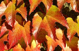 free images nature season maple tree maple leaf autumn colors