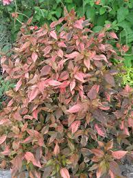 acalypha u0027inferno u0027 my plant palace pinterest plants unique